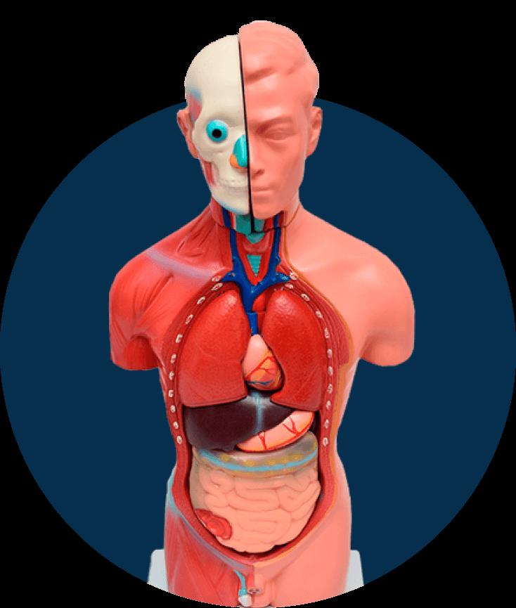 Modelos Anatômicos (imagem ilustrativa)